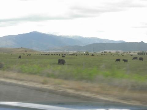 19_ca_cattles.jpg